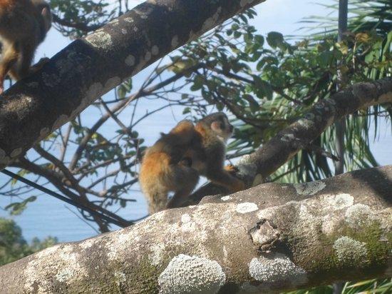 Falls Resort at Manuel Antonio : Monkeys