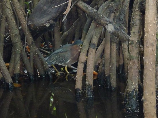 Tour the Glades : Wildlife back among the Mangroves