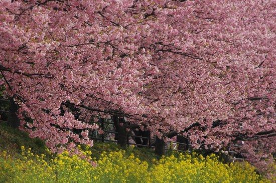 Kawazu Zakura (Kawazucho): 桜と菜の花