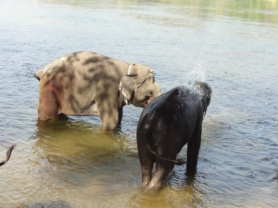 Kodanand Elephant Training Centre : In the river