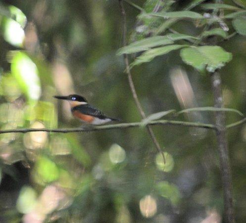 La Paloma Lodge: American pygmy kingfisher