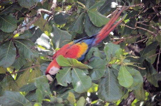 La Paloma Lodge: Scarlet Macaw