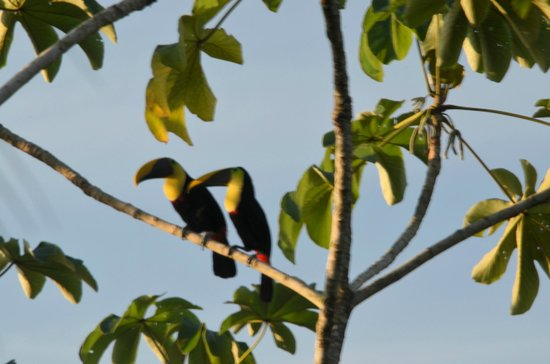 La Paloma Lodge: two of the toucans
