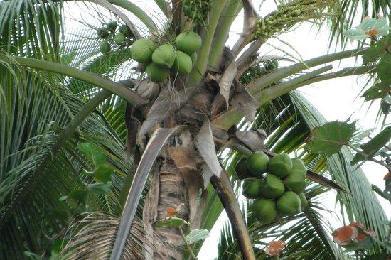 Tres Sirenas Beach Inn : Coconuts!