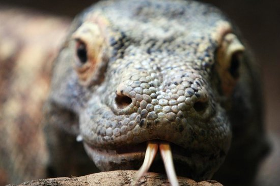 Woodland Park Zoo : Komodo dragon