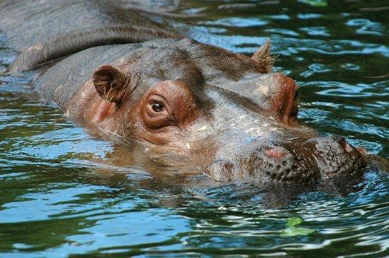 Woodland Park Zoo : Hippo