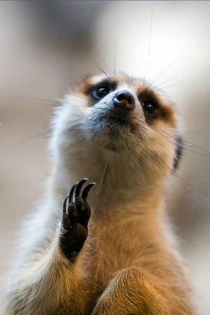Woodland Park Zoo: Meerkat