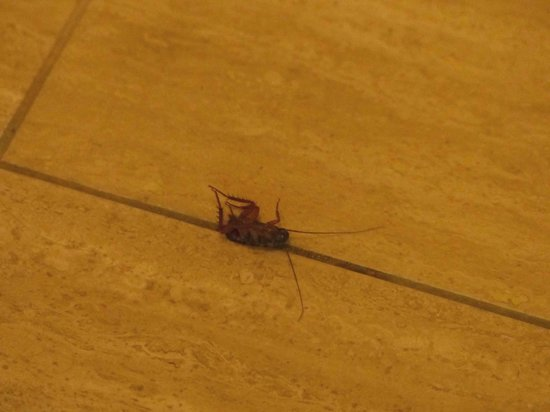 Ibis Styles Port Stephens Salamander Shores: un cafard mort