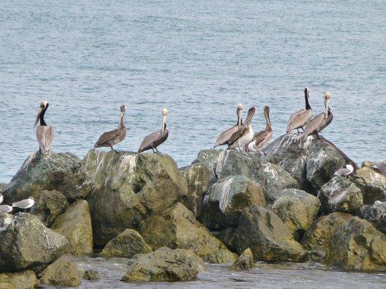 Coco Reef Tobago: pelicans on the breakwater