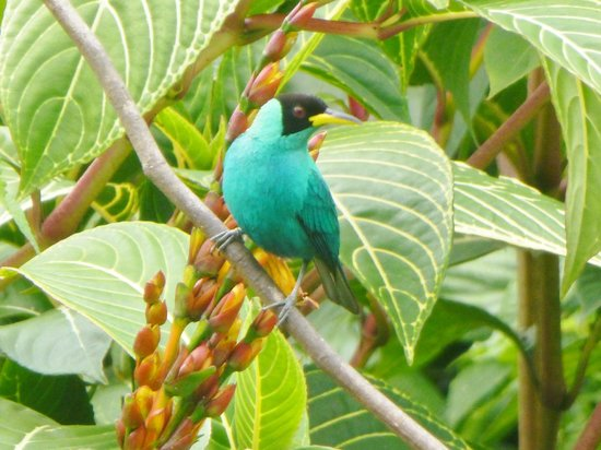 Asa Wright Nature Centre and Lodge: green honeycreeper from the veranda