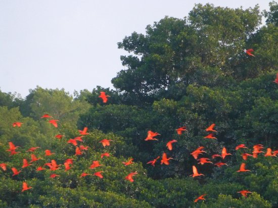 Asa Wright Nature Centre and Lodge: scarlet ibises at Caroni