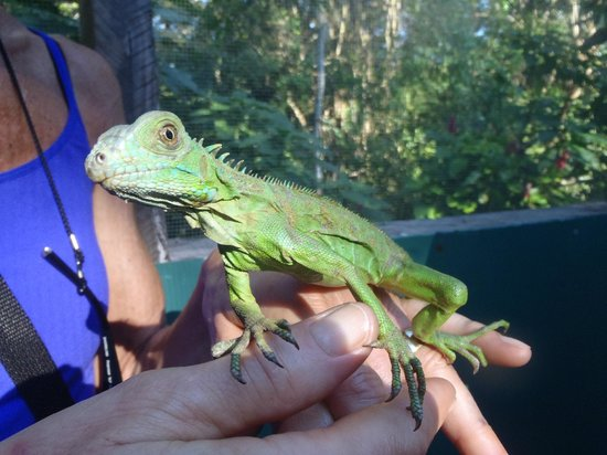San Ignacio Resort Hotel: Handling the iguanas at the hotel's Iguana Project
