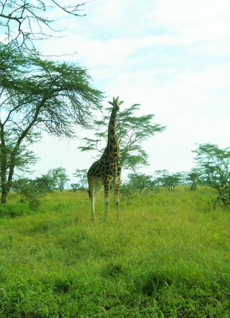 Parc national de Nairobi : Just one of the many giraffes to see