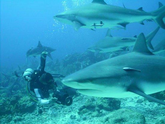 Bananarama Beach and Dive Resort : Shark Dive