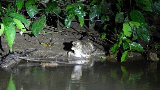 Shiripuno Amazon Lodge: caiman