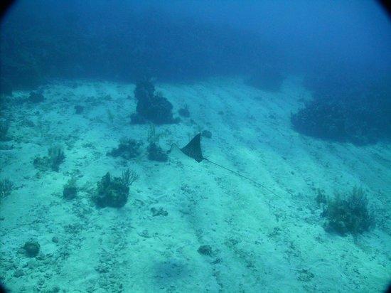 Bananarama Beach and Dive Resort : Eagle Ray