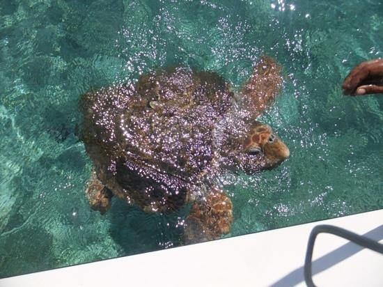 Silk Cay: hello mr loggerhead