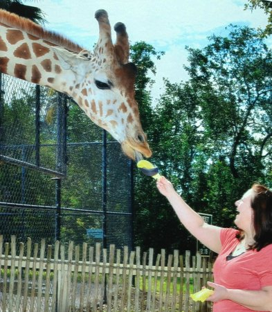 Naples Zoo at Caribbean Gardens: Giraffe Feeding