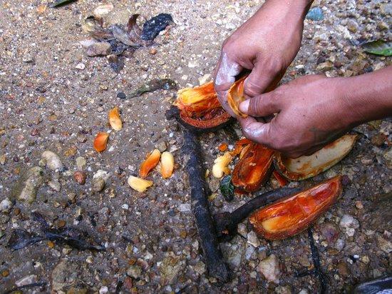 Kin Winik Jungle Tours: Mahagoni tree seeds