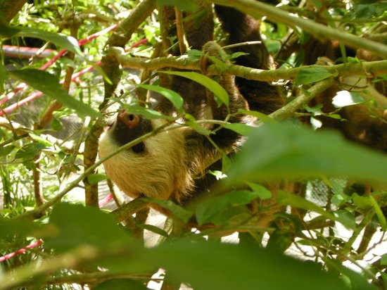 Hotel Casitas Mar Y Luz : Sloth hiding in trees