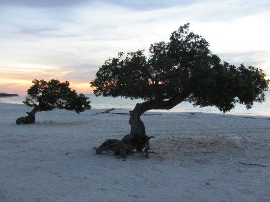 Eagle Beach: Divi-Divi