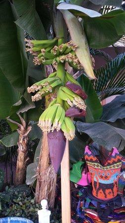 Friendly Vallarta Resort: Bananas weren't ready yet.  :(
