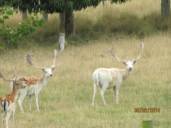 Glendeer Lodge: Our friendly pet Fallow Deer