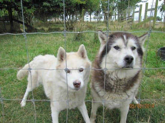 Glendeer Lodge : Our Siberian Huskies, Sumba & Bess