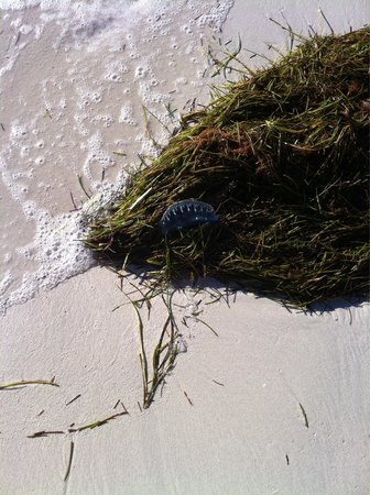 Bahia Honda State Park Campgrounds: Portuguese Man of War- be very careful!
