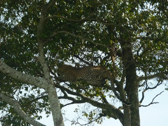 Elephant Pepper Camp: A handsome leopard guarding his kil