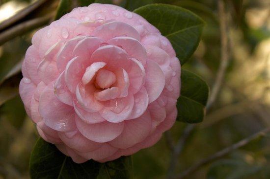 All About Savannah Tours: Sasanqua - pink camellia - in Bonaventure Cemetery