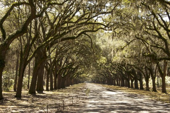 All About Savannah Tours: Wormsloe - Live Oak Avenue