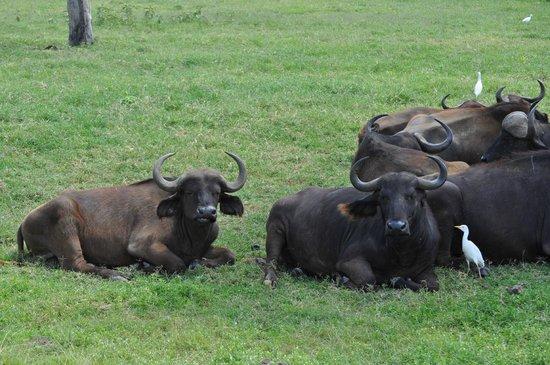 Sarova Lion Hill Game Lodge: буйволы