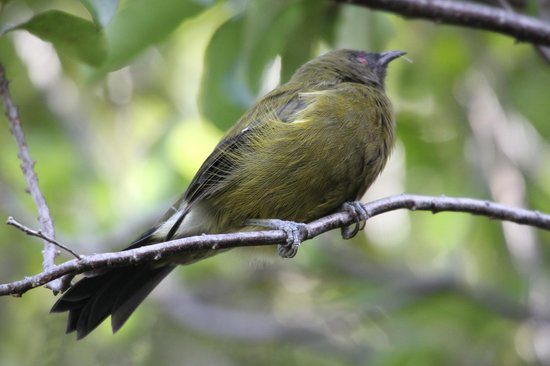 Eco Wanaka Adventures : A Bell bird