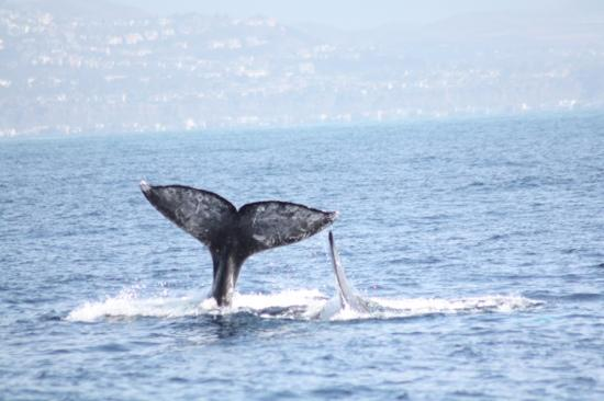 Dana Point, CA: ivors photo of a grey whale tail and fin