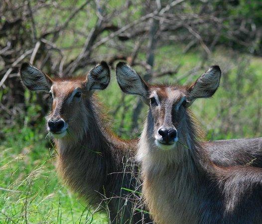 Moremi Wildlife Reserve: Elipssenbock