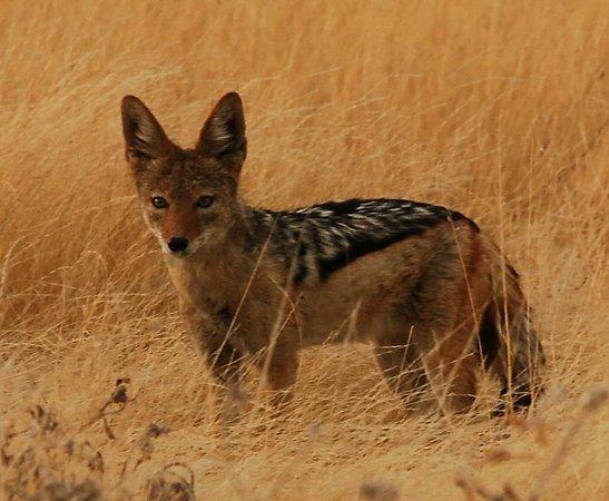 Moremi Wildlife Reserve: Schakal