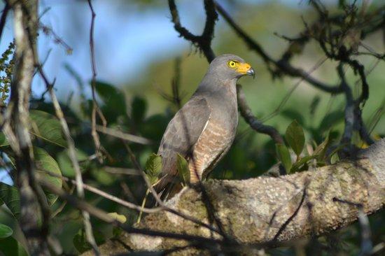 Finca Maresia : faucon depuis le hamac