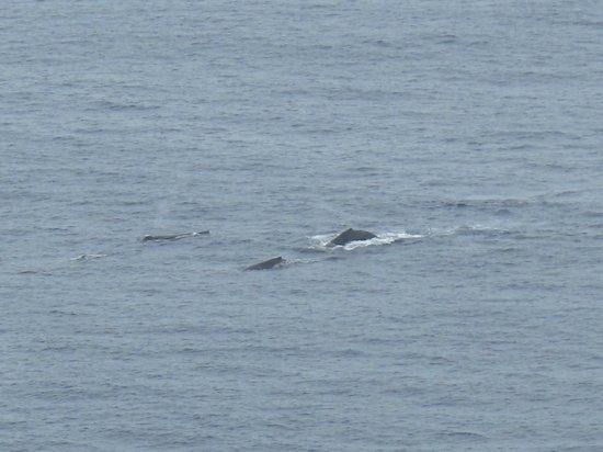 Makapuu Lighthouse Trail: クジラのファミリーが見られるのはこの時期