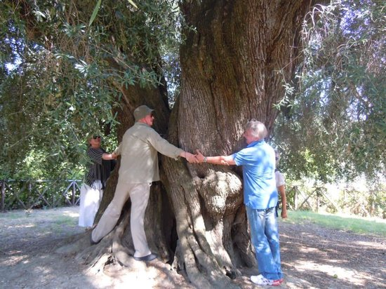 Convivio Rome - Olive Oil Tour : Largest Olive tree in Europe- visited during the olive oil tour