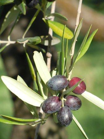 Convivio Rome - Olive Oil Tour : Olives changing colour