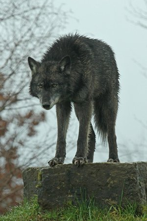 Tala on lookout  - Picture of UK Wolf Conservation Trust