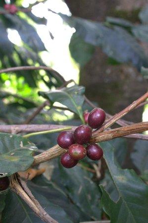 Thippanahalli Homestay: Coffee seeds