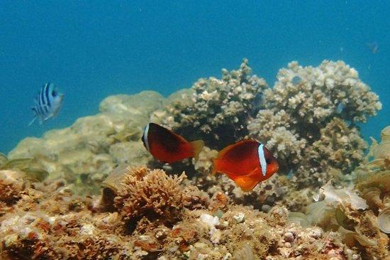 Korovesi Sunshine Villas: Fijian anemonefish