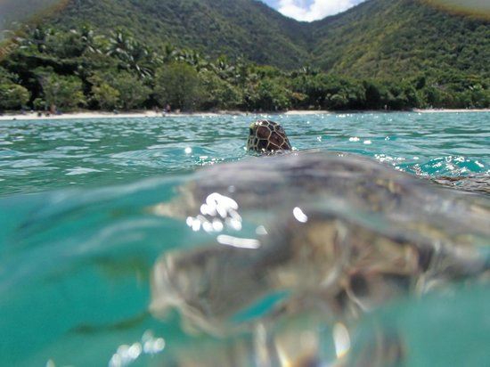 Cruz Bay, St. John: Turtle coming up for air at Maho Bay!
