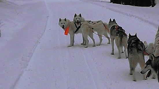 Barking Brook Sled Dog Adventures - Day Trips: Bodhi & Bonzo, our team leaders!