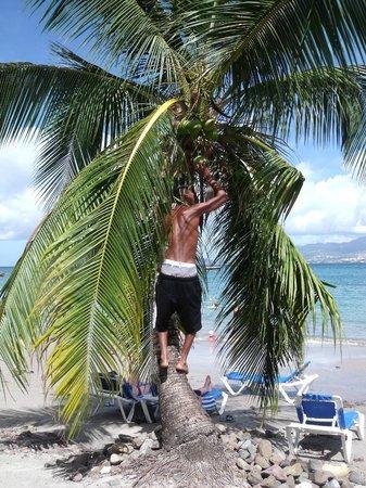 Hotel-Club Trois Ilets: Cueillette de noix de coco
