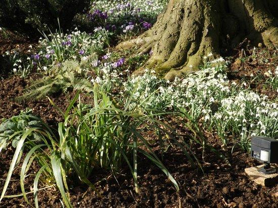 Coton Manor Garden: Hellebores in the sun