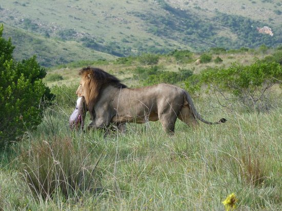 Lalibela Game Reserve : King of the jungle