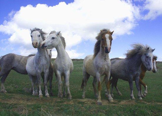 Preseli Venture: Ponies on National Trust coast